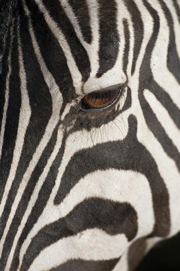 Plains Zebra Equus Burchelli, Close-up Photograph by Paul Souders