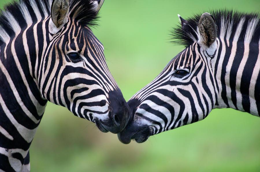 Plains Zebra Equus Quagga Pair Photograph by Heinrich Van Den Berg