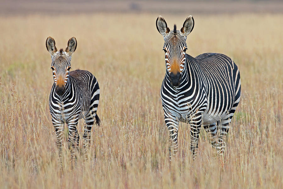 Plains Zebra Equus Quagga With Foal In Photograph by George Brits