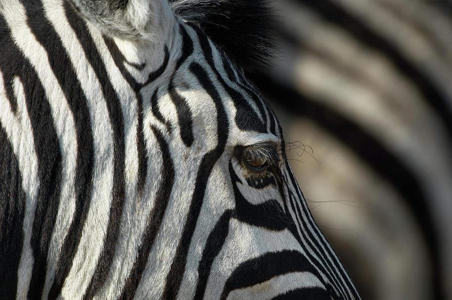 Plains Zebra, Etosha National Park Photograph by Ben Cranke
