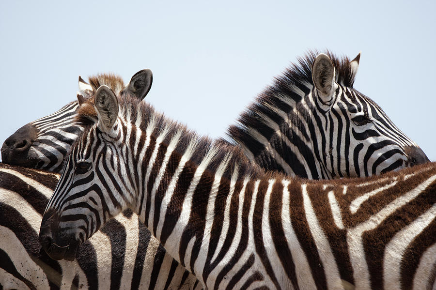 Plains Zebra, Masai Mara Game Reserve Photograph by Paul Souders