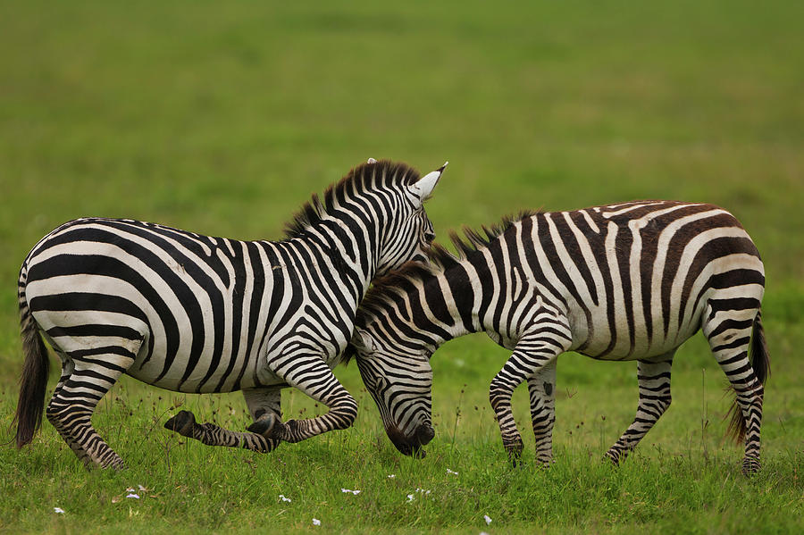Plains Zebras Fighting, Ngorongoro Photograph by Mint Images - Art Wolfe