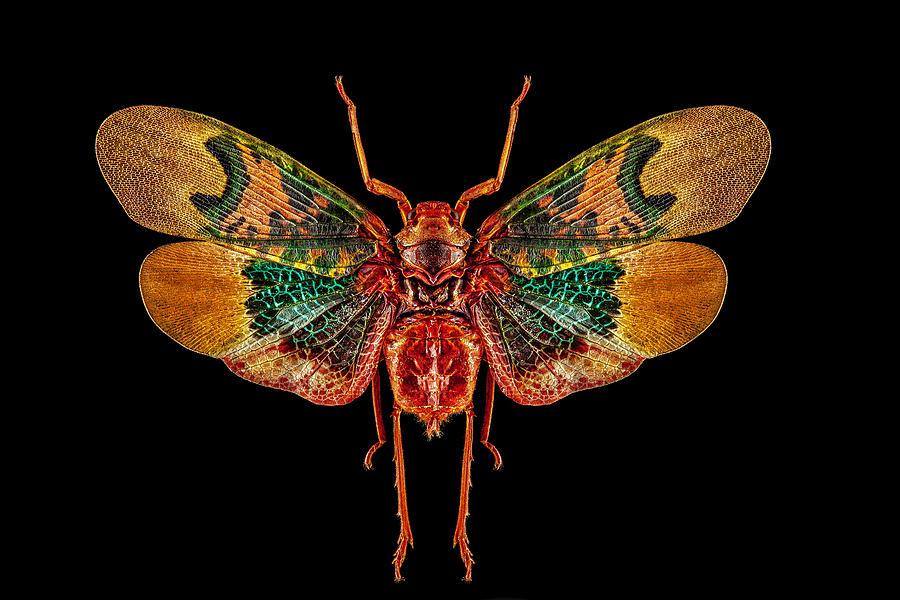Planthopper Lanternfly by Gary Shepard