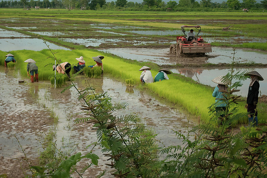Planting Rice in Thailand by Peggy Blackwell