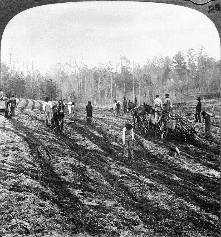 Planting Sugar Cane In Georgia Photograph by Hulton Archive