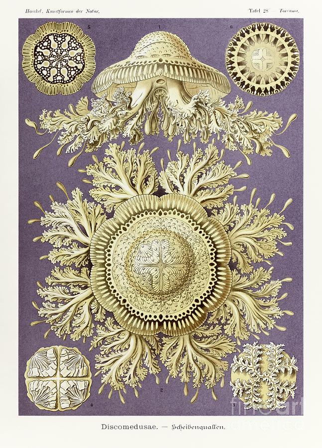 Life Drawing - Plate 28 Toreuma Bellagemma, Discomedusae By Ernst Haeckel by Ernst Haeckel