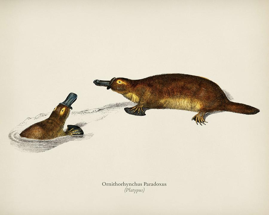 Platypus Ornithorhynchus Paradoxus illustrated by Charles Dessalines D' Orbigny 1806-1876 by Charles Dessalines