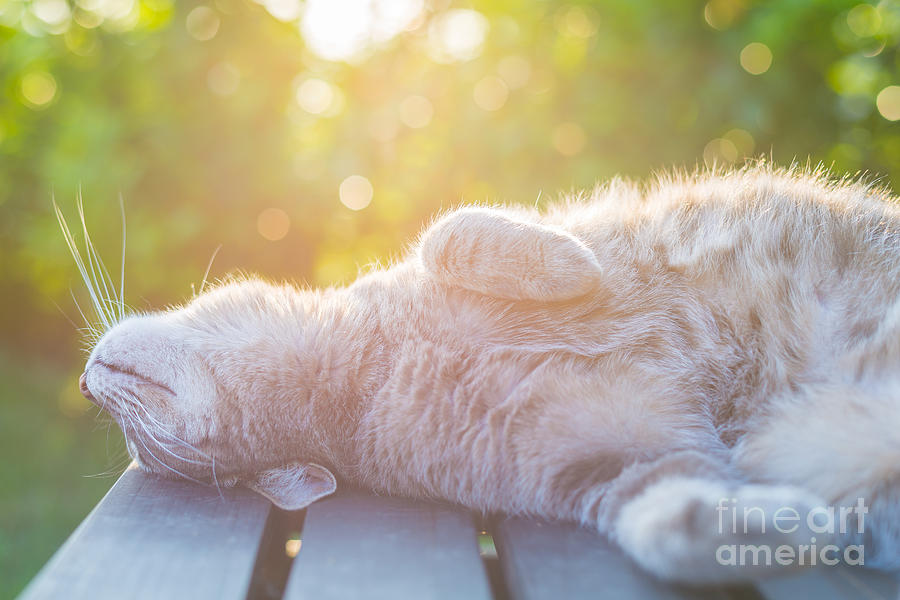 Pets Photograph - Playful Domestic Cat Lying On Wooden by Fabio Lamanna