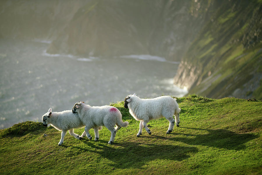 Playful lambs at the cliffs of Slieve League by Roelof Nijholt