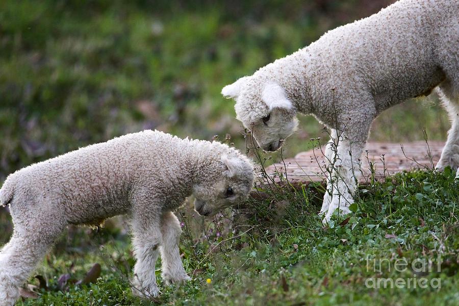 Playful Lambs by Rachel Morrison