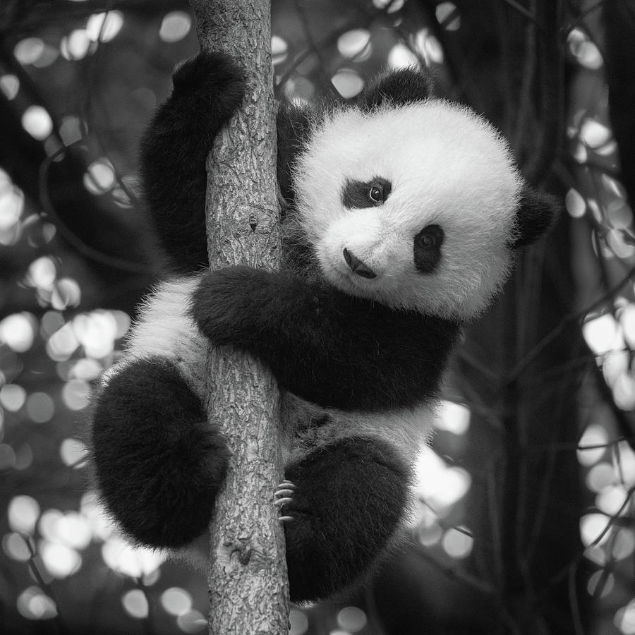 Playful Panda by Erika Valkovicova