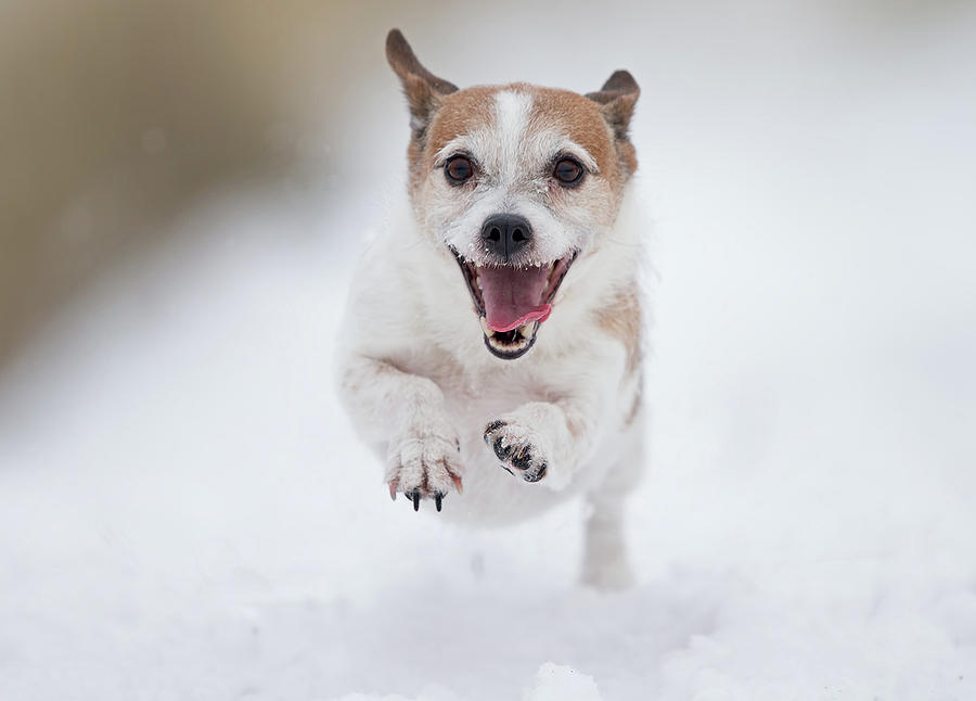Terrier Photograph - Playing In The Snow#1 by Thomas Jensen