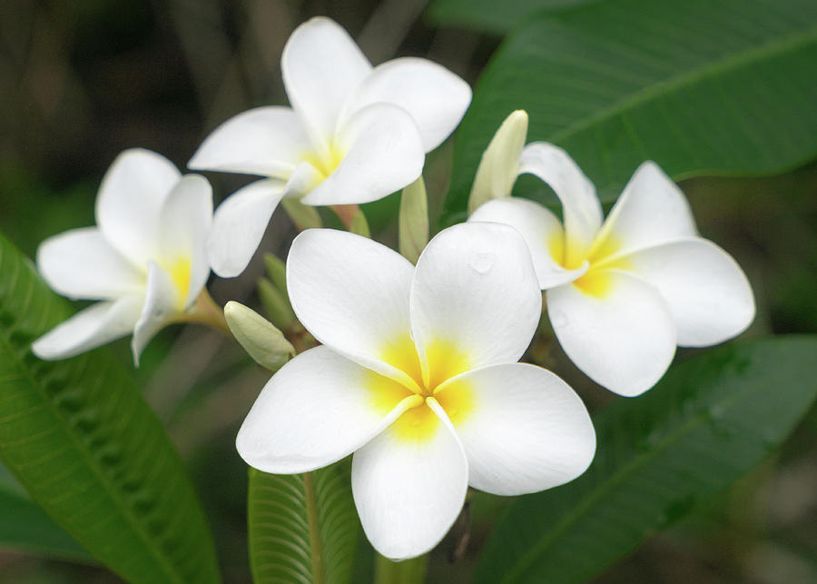 Pleasing Plumeria by Denise Bird
