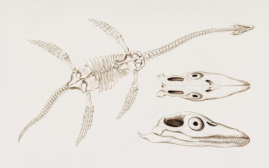 Plesiosaurus illustrated by Charles Dessalines D Orbigny 1806-1876 by Charles Dessalines D