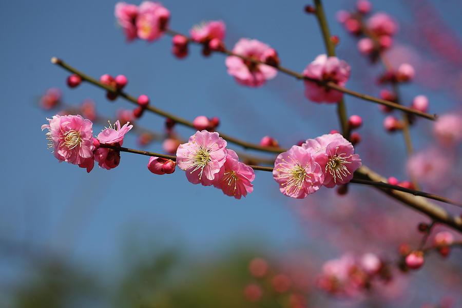 Plum Blossom Photograph by Masahiro Nakano/a.collectionrf