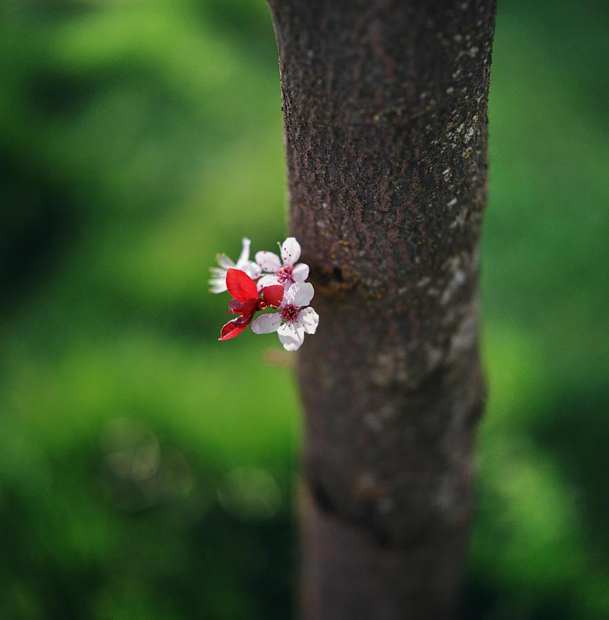 Plum Blossom On Tree Trunk Photograph by Danielle D. Hughson