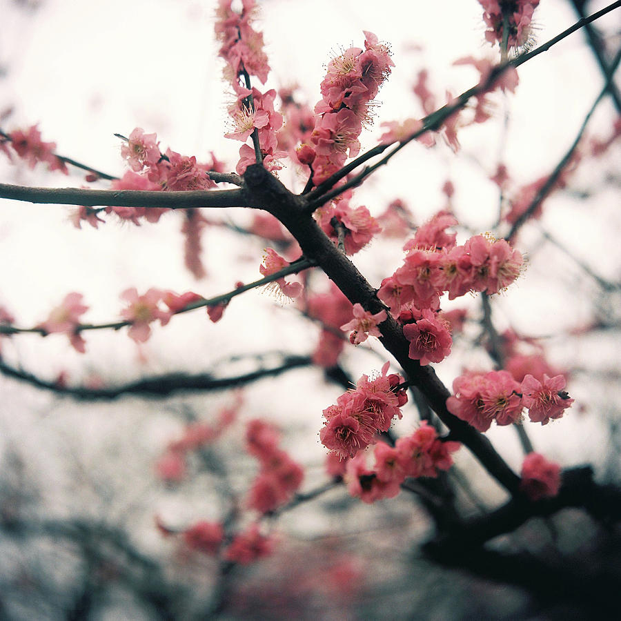 Plum Blossom Photograph by Shawnfeng