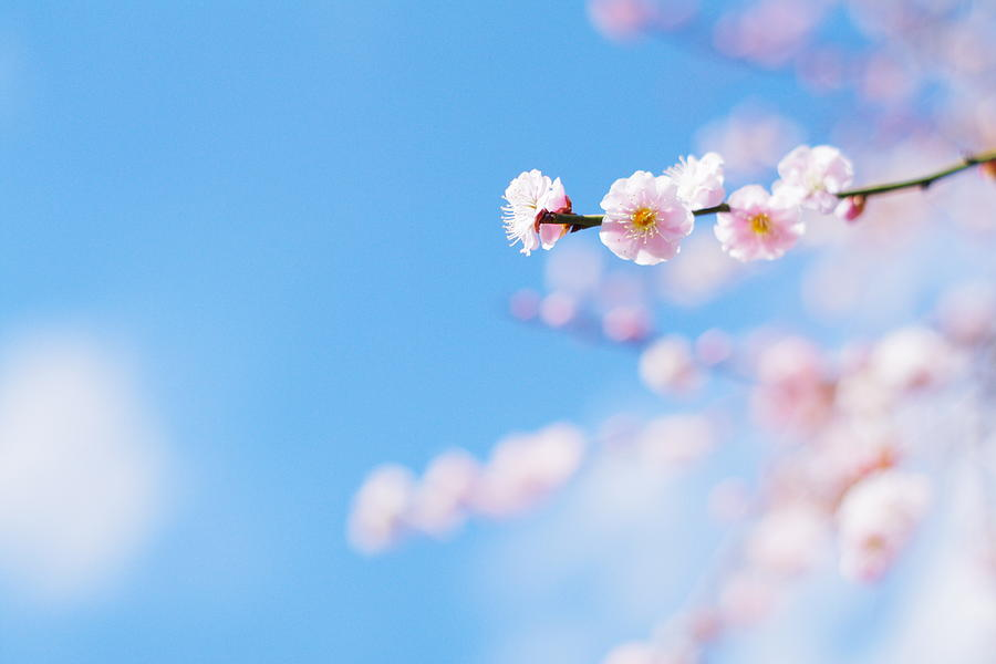 Plum Blossom Photograph by Wander