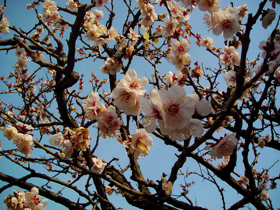 Plum Blossoms At Yushima Tenjin Photograph by Copyright Thomas Volstorf