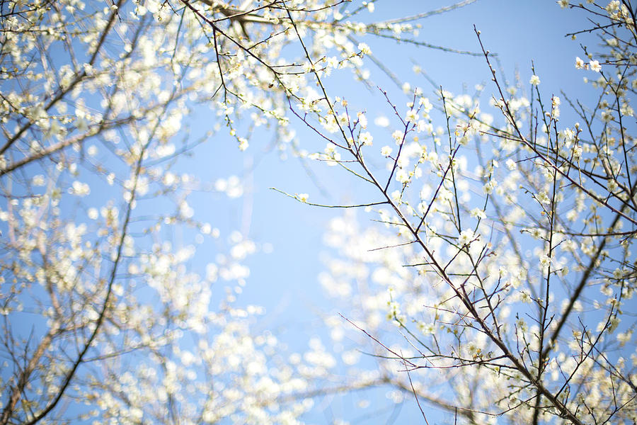 Plum Blossoms In Blue Sky Photograph by Samyaoo