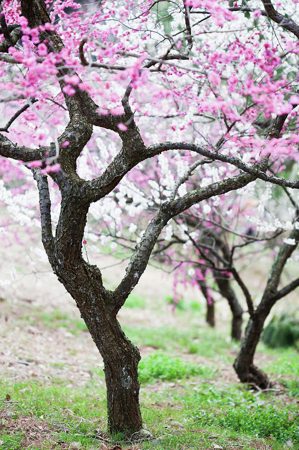 Plum Blossoms Photograph by Ooyoo