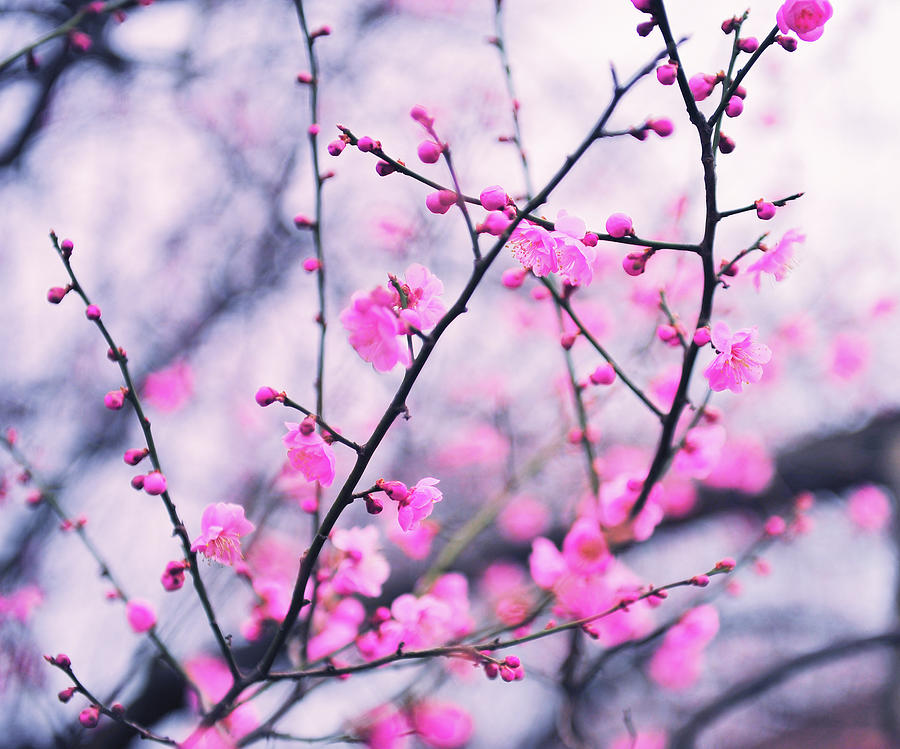 Plum Blossoms Photograph by Photo By Glenn Waters In Japan