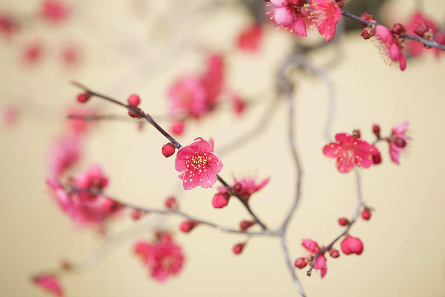 Plum Blossoms Photograph by Sayaka/a.collectionrf