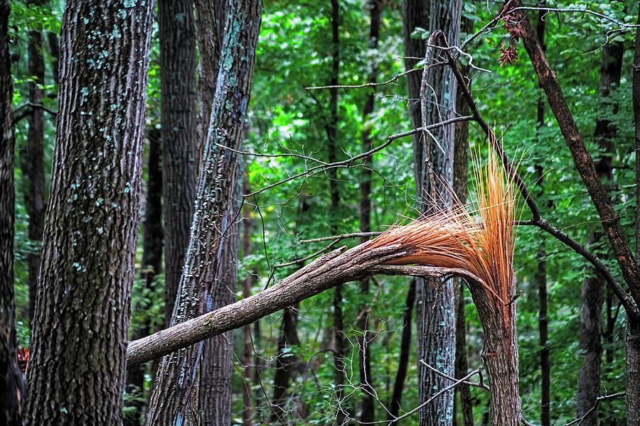 Plume de Pine by Robert FERD Frank