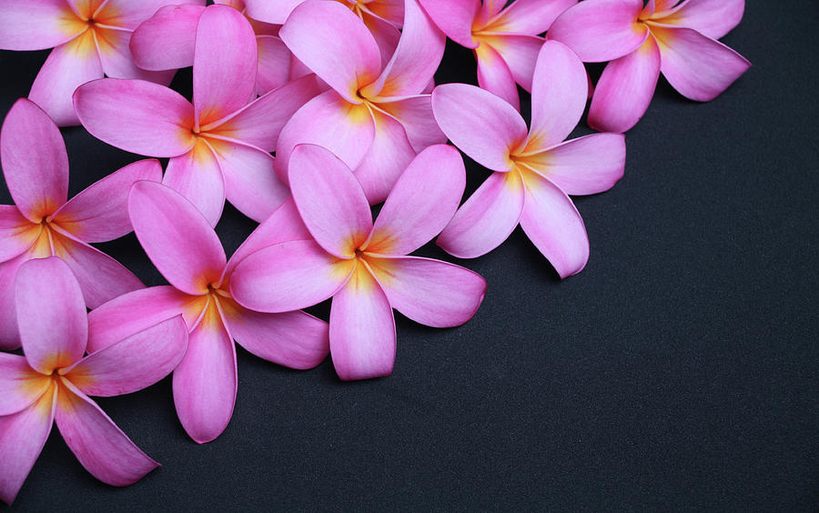 Plumeria On Black Photograph by Focalhelicopter