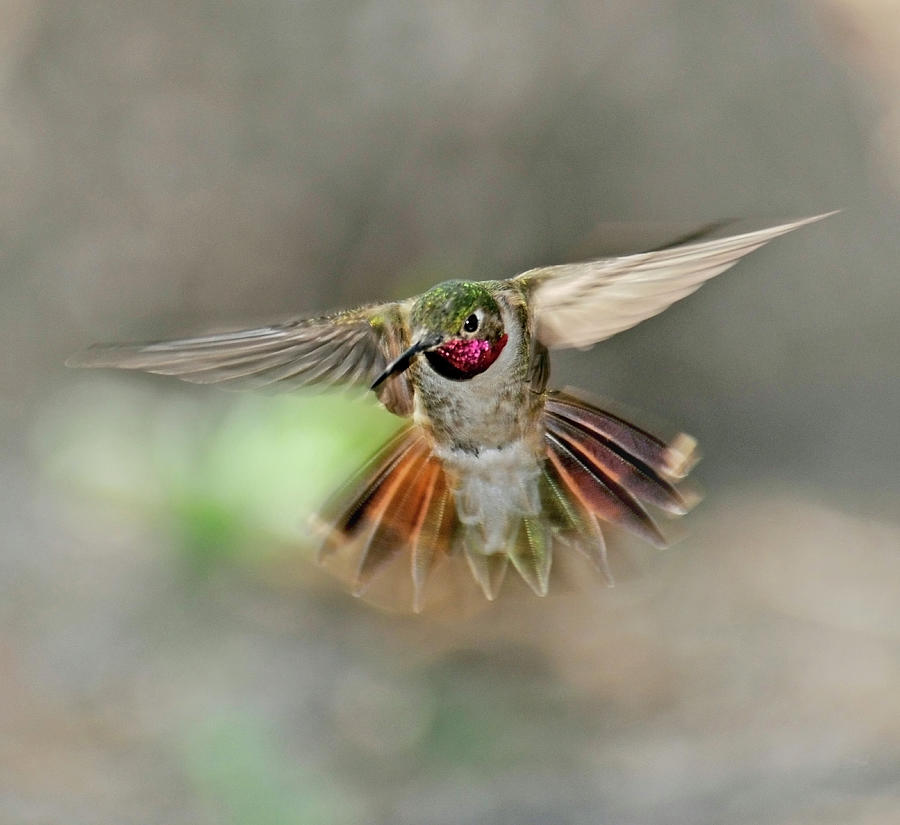 Poetry In Motion - Hummingbird Hovering Photograph by Eastman Photography Views Of The Southwest