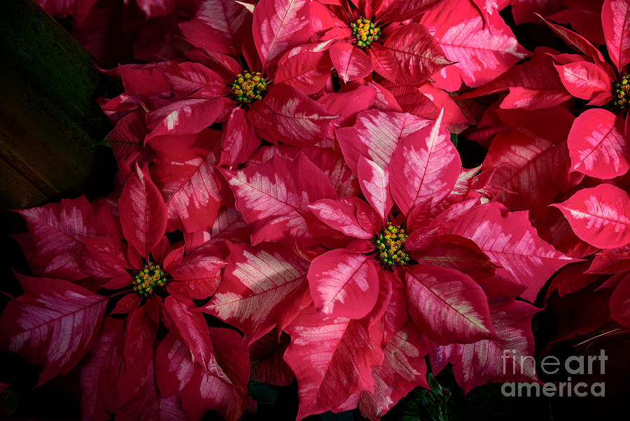 Poinsettia  by Debra Fedchin