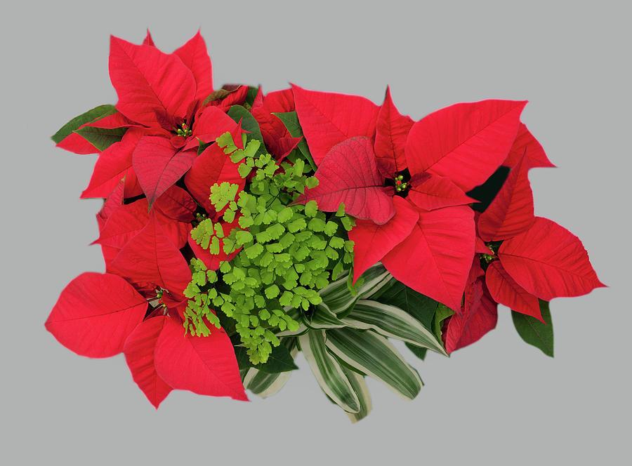 Poinsettia Floral Arrangement by Floyd Hopper