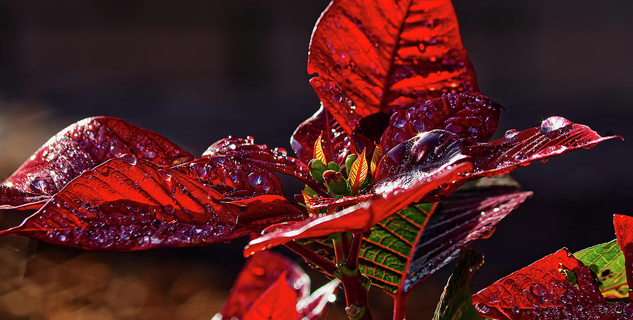 Poinsettia II by Richard Rizzo