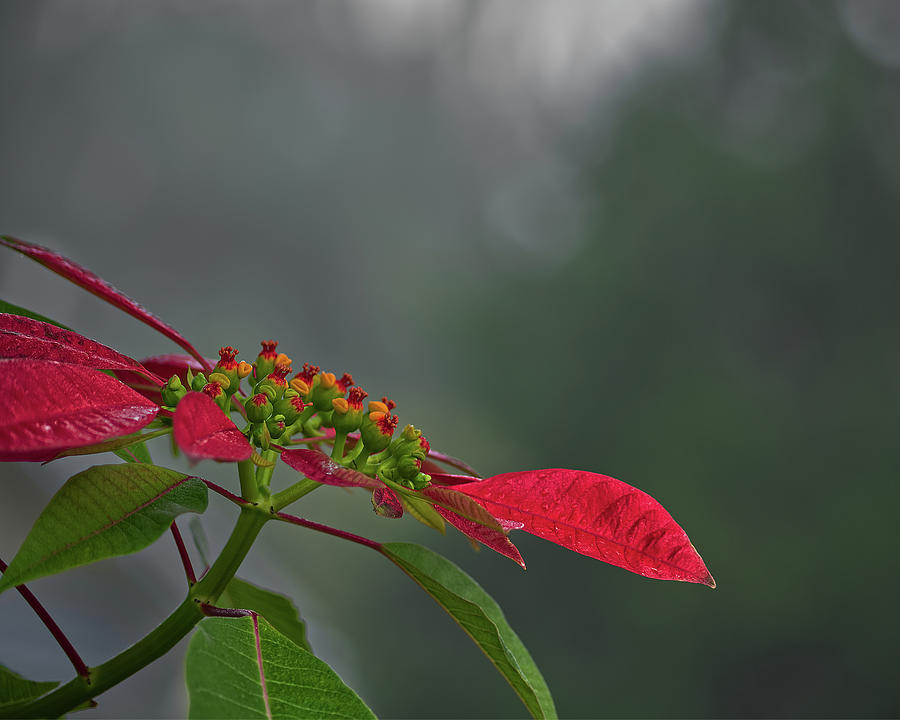 Poinsettia by Richard Rizzo