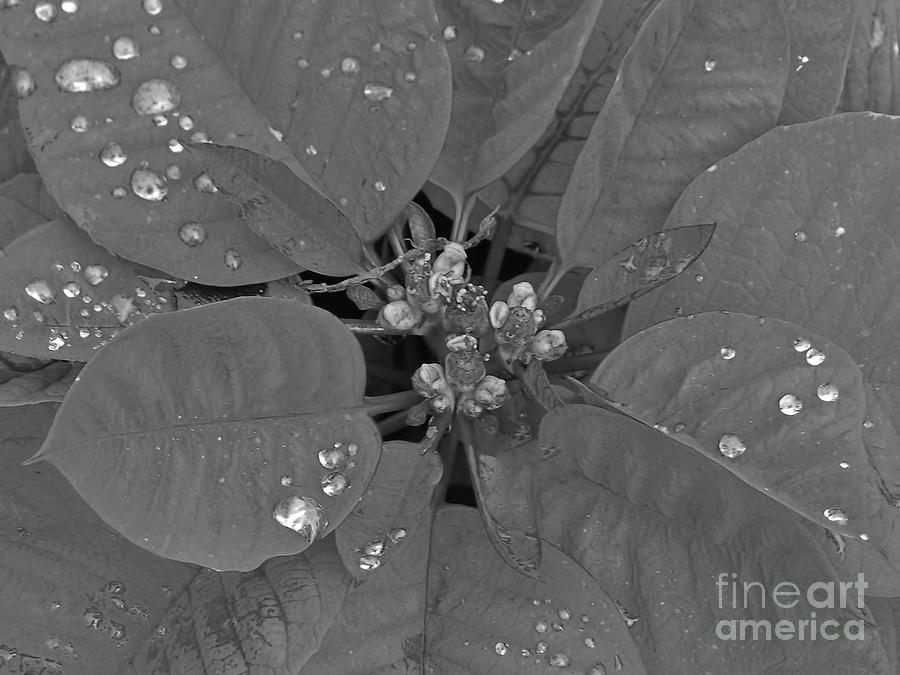 Poinsettia With Raindrops BW by D Hackett