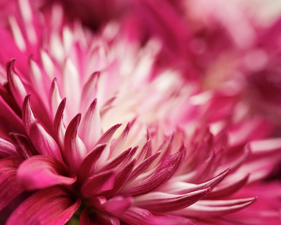 Poised Petals Photograph by Jody Trappe Photography