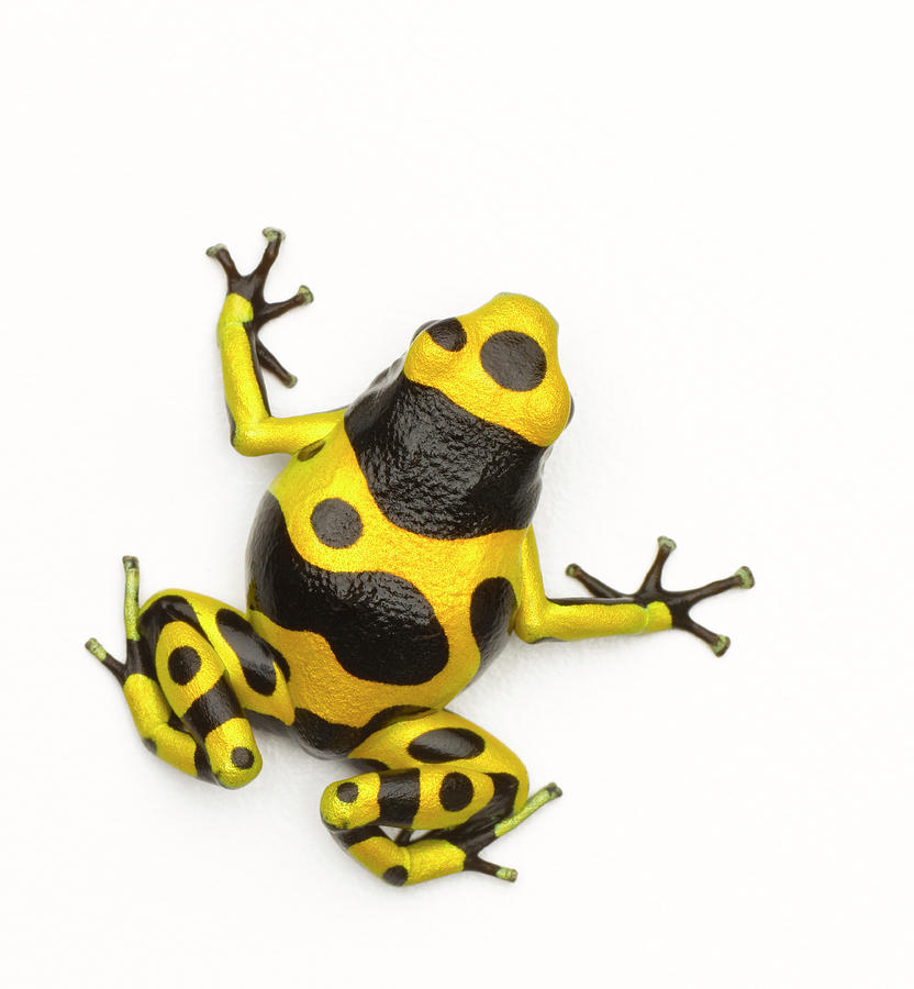 Poison Dart Frog Photograph by Don Farrall