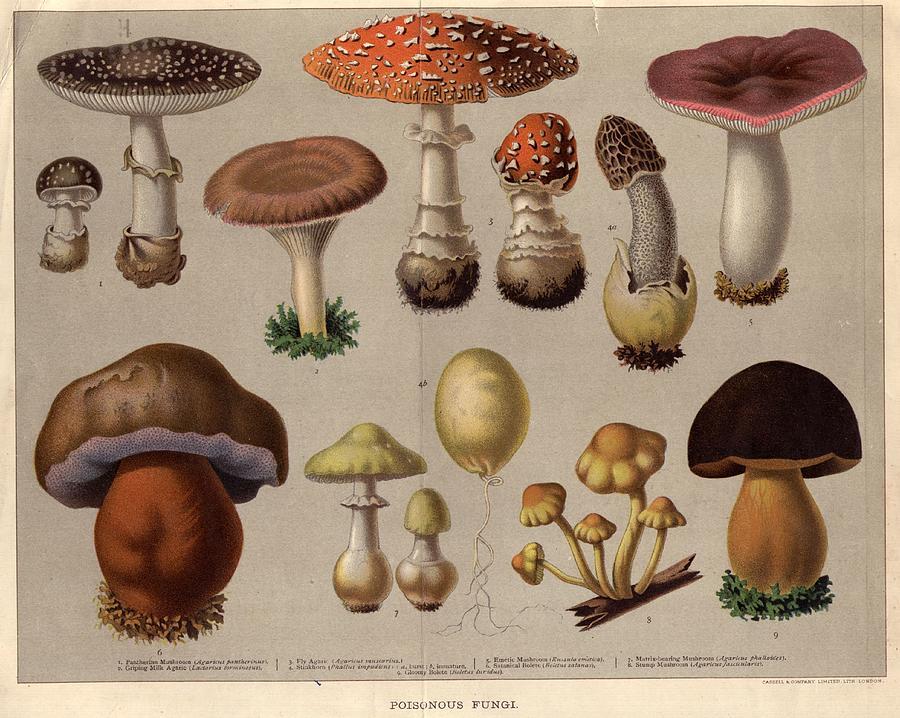 Poisonous Fungi Digital Art by Hulton Archive