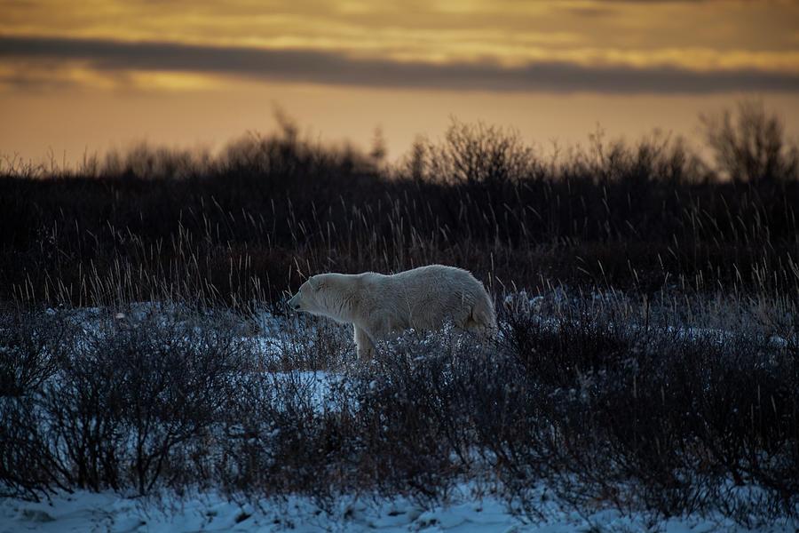 Polar Bear at Dusk by Mark Hunter