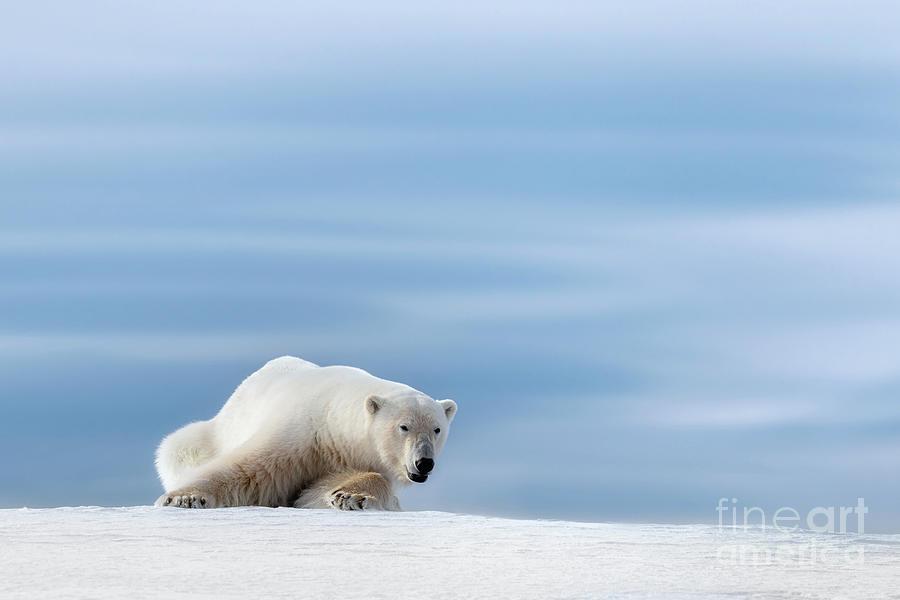 Polar bear crouching on the frozen snow of Svalbard by Jane Rix