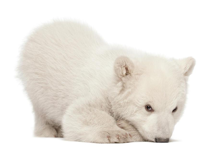 Polar Bear Cub Lying Photograph by Life On White