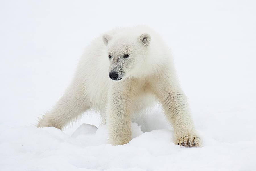 Polar Bear Cub On Snow Photograph by Galaxiid