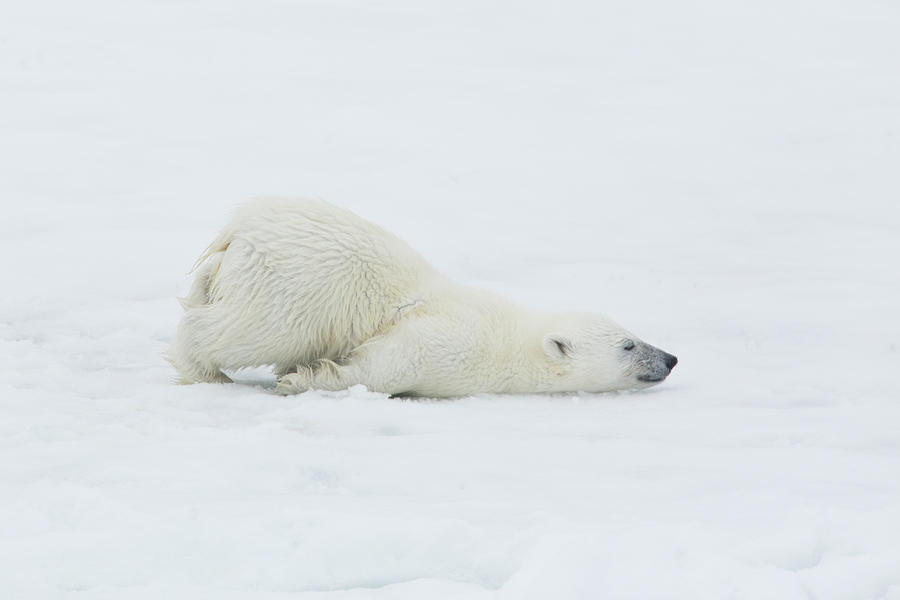 Polar Bear Cub Stretching Out On Ice Photograph by Darrell Gulin