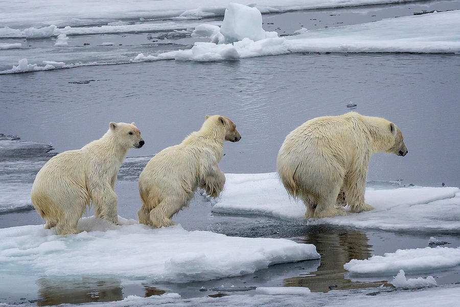Polar Bear cubs and mom by Steven Upton
