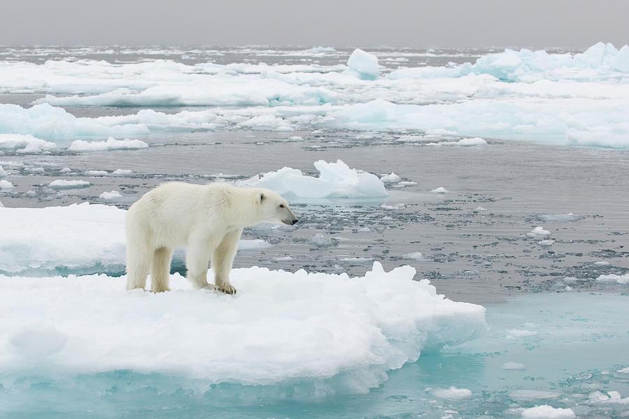 Polar Bear Photograph by Dagsjo