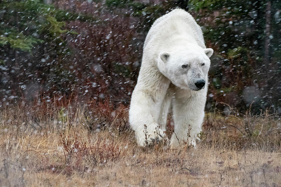 Polar Bear Eye Contact by Mark Hunter
