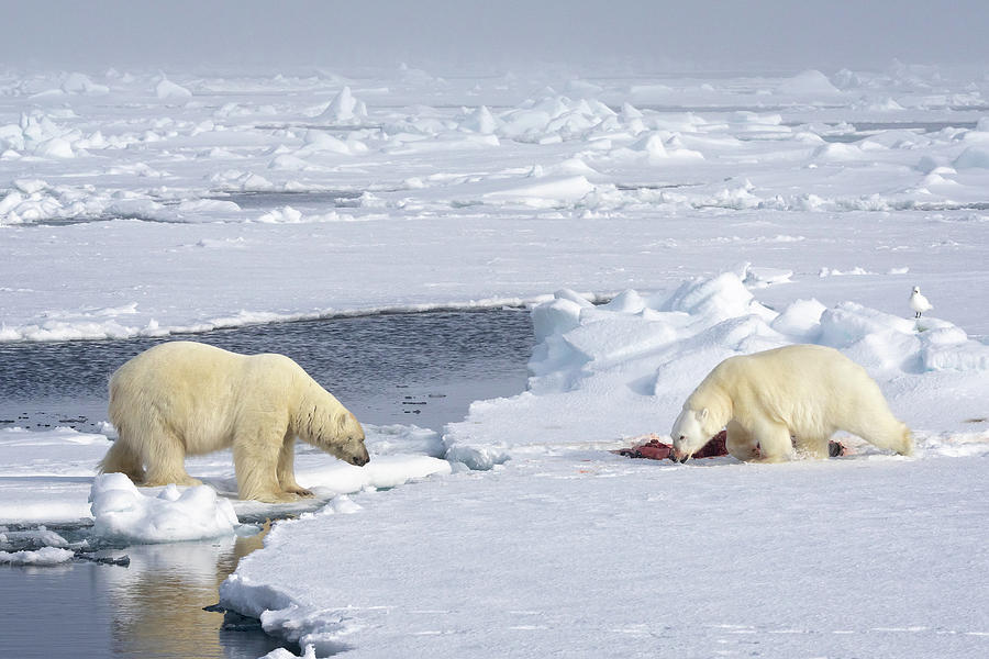 Polar Bear facedown by Steven Upton
