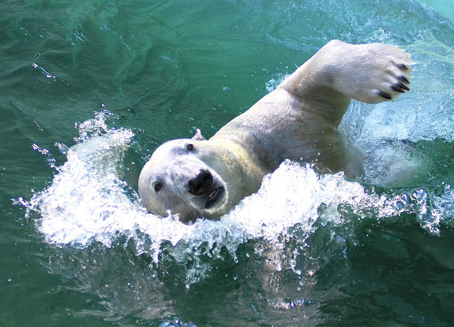 Polar Bear Photograph by Floridapfe From S.korea Kim In Cherl