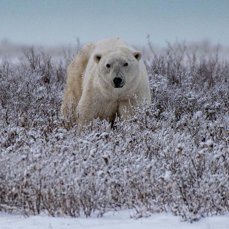 Polar Bear in Snow Covered Willow by Mark Hunter