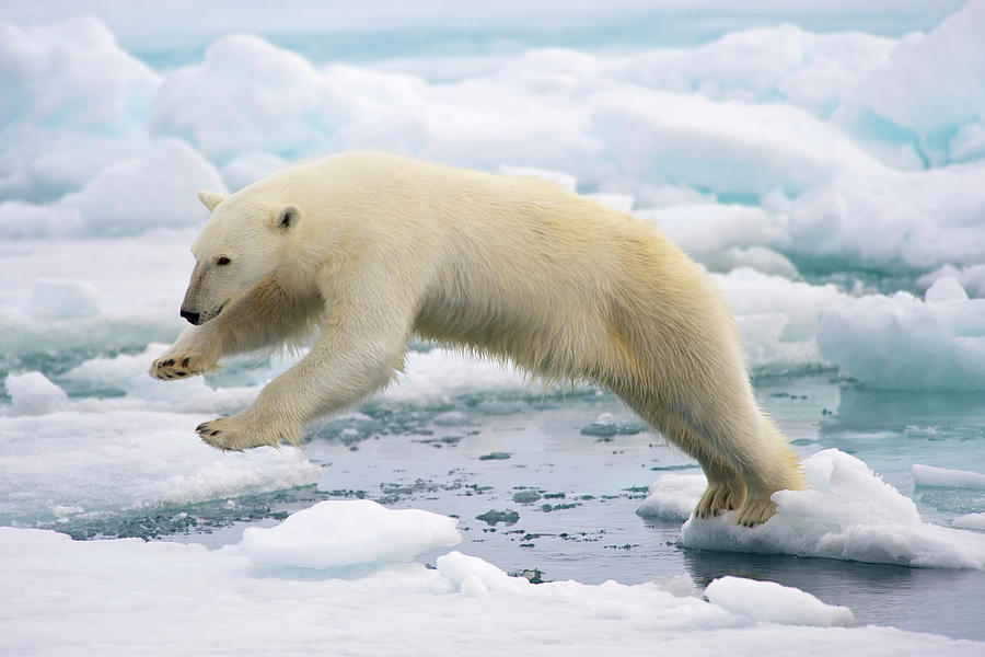 Polar Bear Jumping In The Fast Ice Photograph by Arturo De Frias Photography